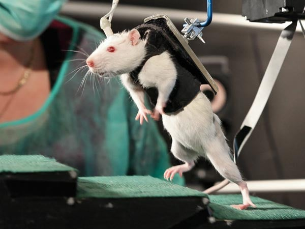 Video: Paralyzed Rats Walk Again, Now Farther Than Ever