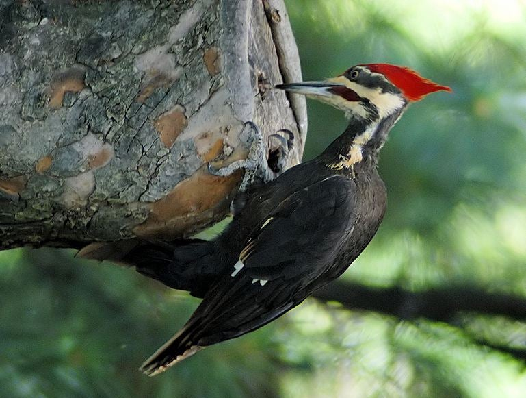 Woodpeckers' Heads Inspire New Shock-Absorbing Systems for Electronics and Humans