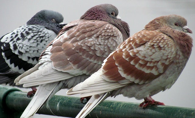 Pigeons Know When They're Getting Bad Leadership Advice