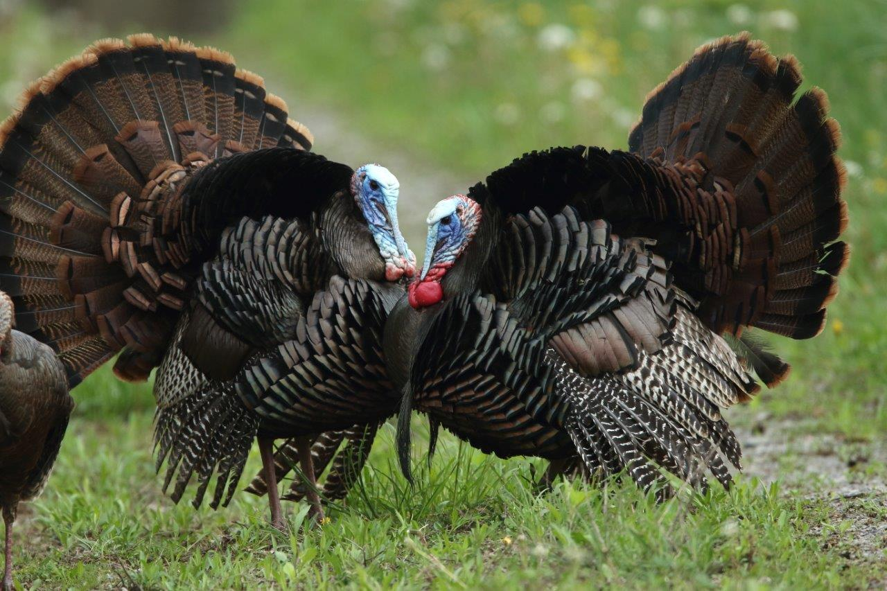 Wild turkeys are in trouble