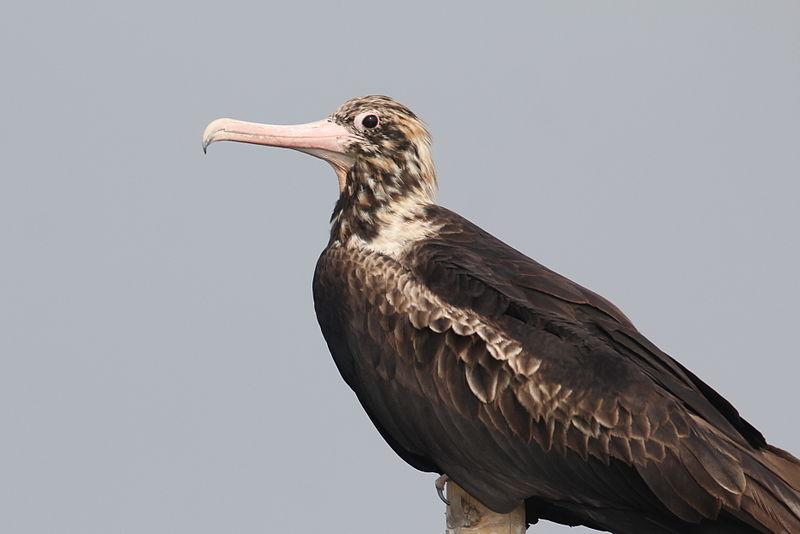 Fregata andrewsi(Christmas Island Frigatebird)