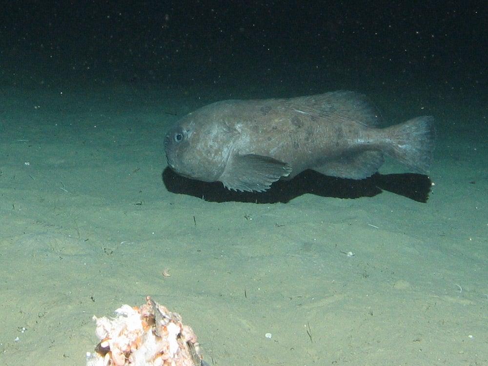 blobfish on sea floor