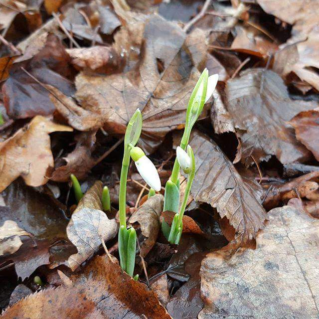 Snowdrops blooming—instead of the usual snow—in Moscow on December 24