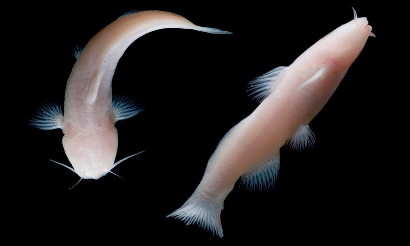 Tiny, Eyeless Catfish Found In Texas Cave