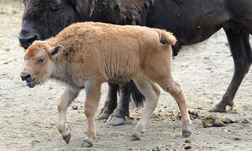 After Embryo is Washed of Disease, Healthy Purebred Baby Buffalo Born in the Bronx