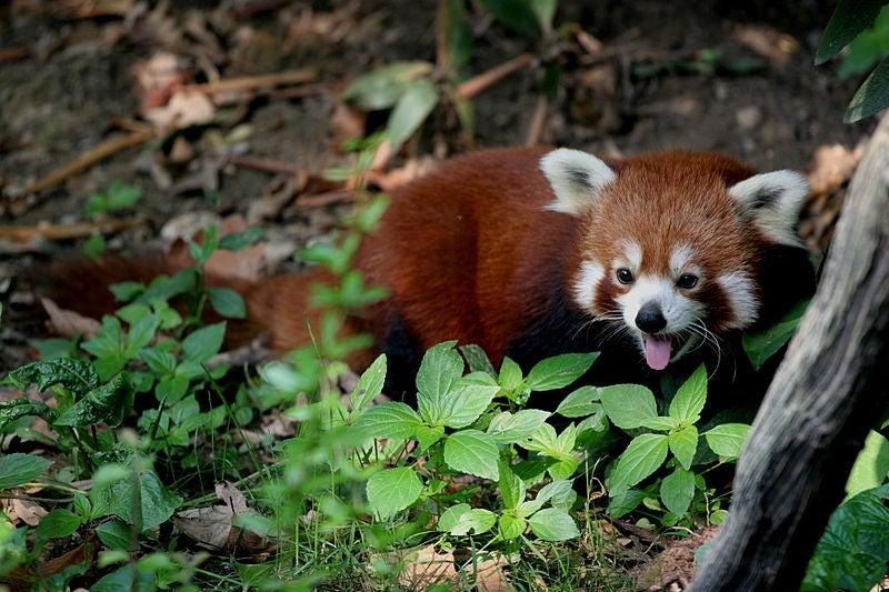 A History Of Daring Red Panda Escapes