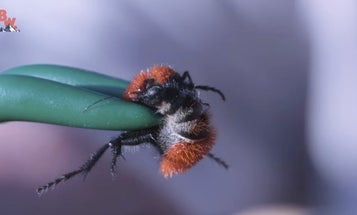 Watch A 'Cow Killer' Velvet Ant Sting A Guy For Science
