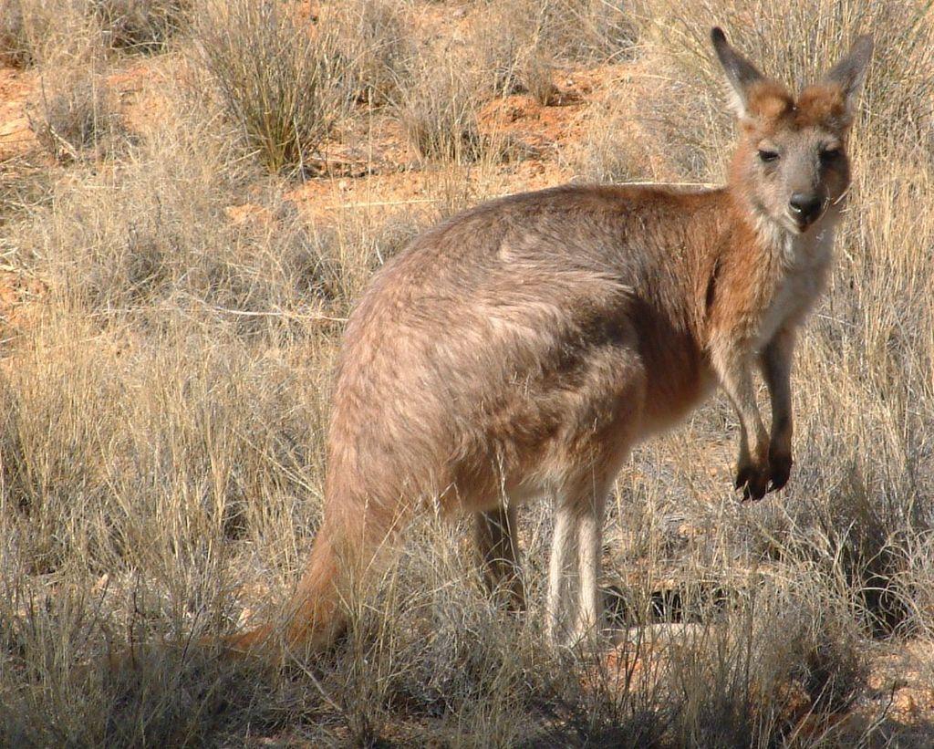 Aboriginal Fires Actually Increase Kangaroo, Lizard Populations