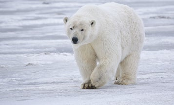 Toxic mercury levels are actually declining in Alaskan polar bears—but that's not as great as it sounds