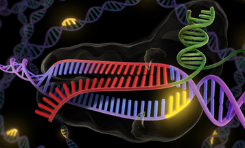 CRISPR Gene Editing Successfully Stops Muscular Dystrophy In Living Mice
