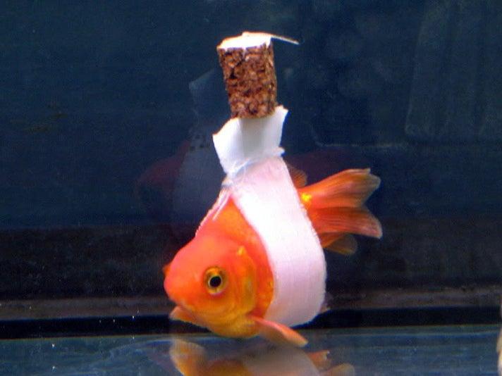 """Goldfish"""
