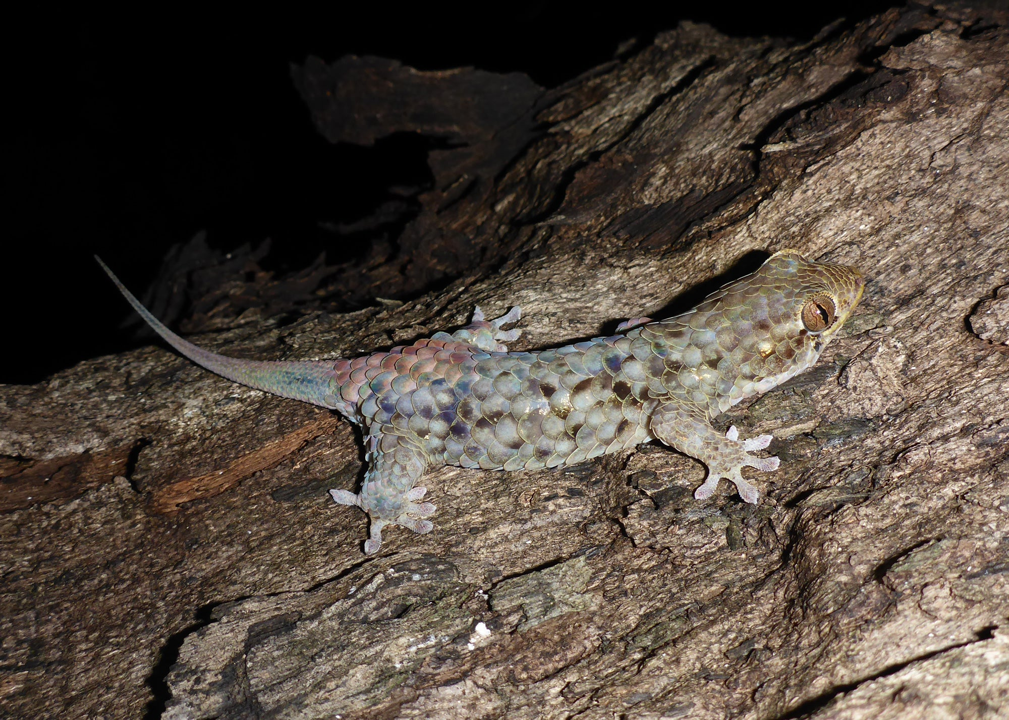 This newly discovered gecko can literally squirm right out of its skin