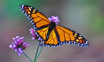 Monarch Butterfly Population Revives After Years Of Low Numbers