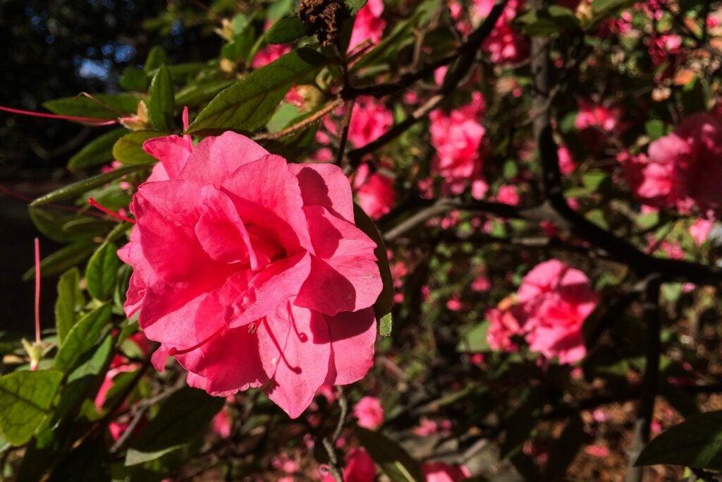 Azaleas in bloom in Memphis, Tennessee on December 24