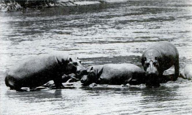 April 1961: Popular Science Suggests Eating Hippopotamuses
