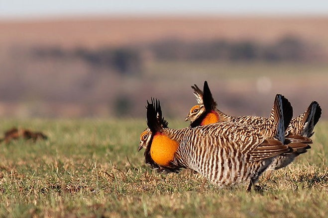 A GPS-Tracked Prairie Chicken Has Wandered 1,180 Miles Since April