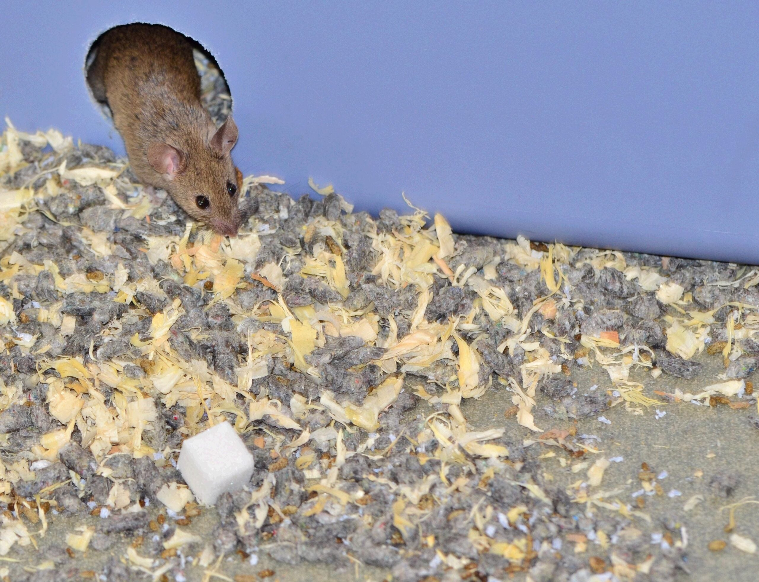[Updated] Study: Sugar-Munching Mice Die Earlier