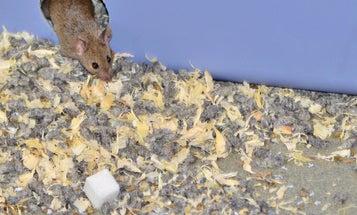 [Updated] Study: Sugar-Munching Mice Die Earlier