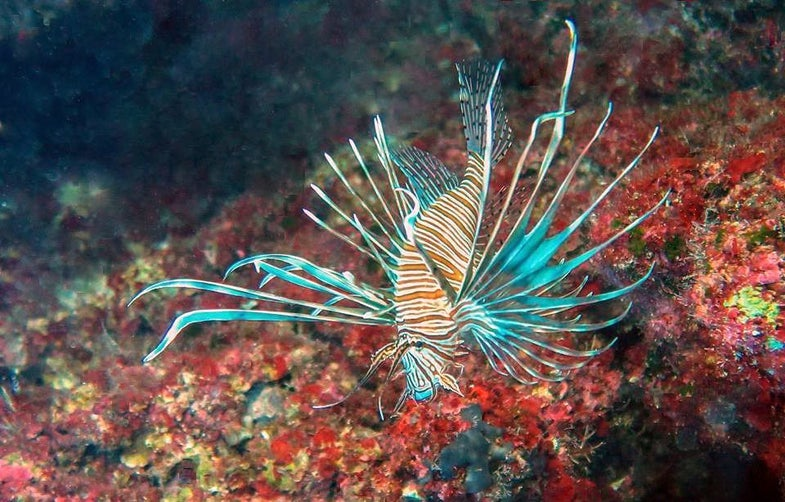 Lionfish Are Now Invading The Mediterranean