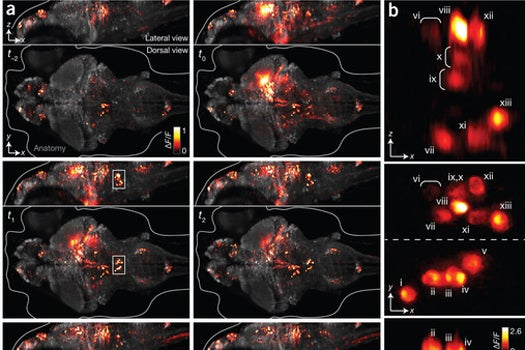 Scientists Capture All The Neurons Firing Across A Fish's Brain On Video