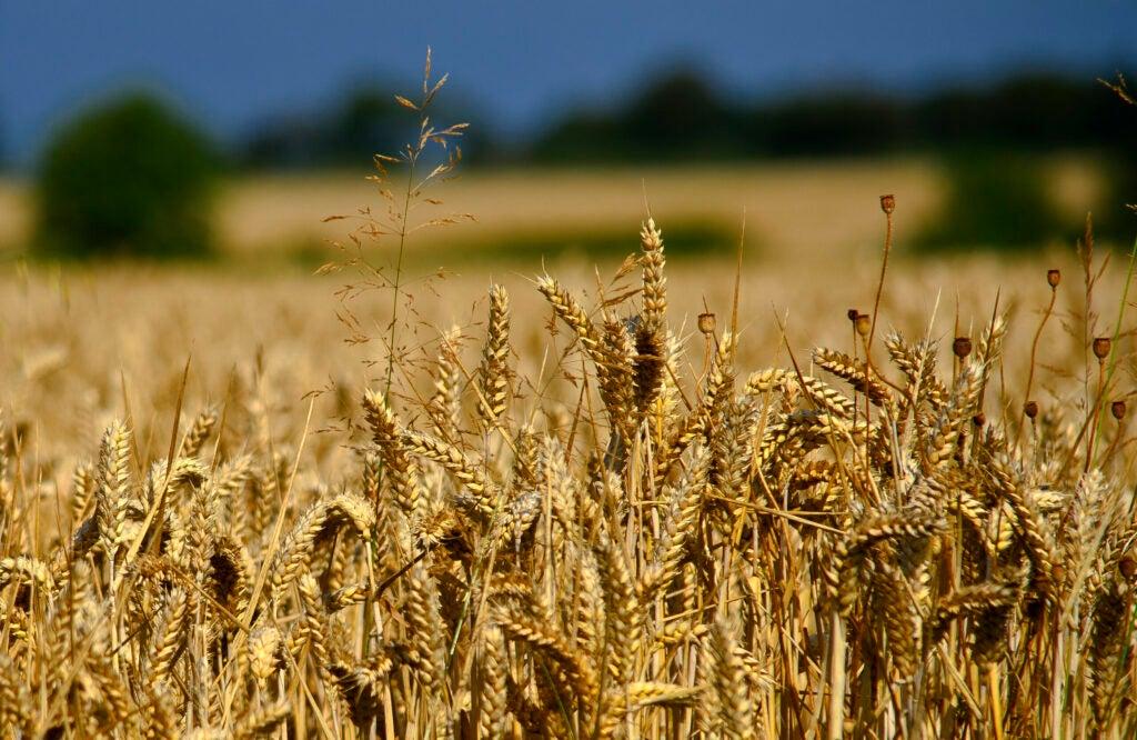 """""""wheat"""""""