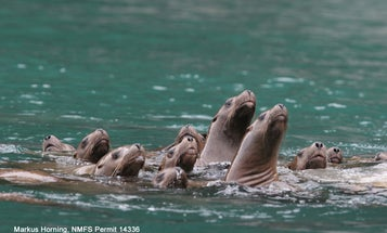 Mystery Of Alaska's Disappearing Sea Lions Solved