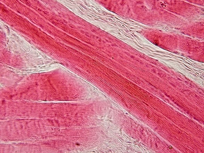 Microthreads Enhanced With Human Cells Help Mice Grow New Muscle