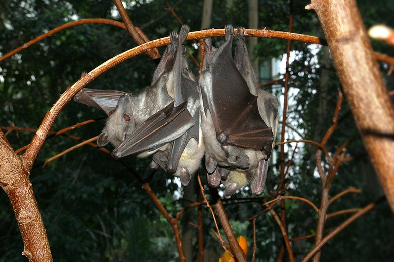 Don't Just Blame Bats for Disease Outbreaks