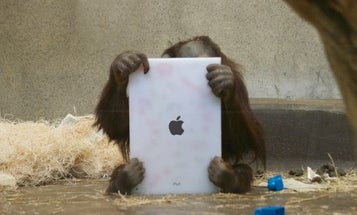 FaceTime for Apes: Orangutans Use iPads to Video Chat With Friends In Other Zoos
