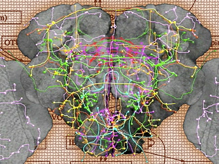 Map of Fruit Fly's Neuron Clusters Offers Glimpse Into Our Own Minds' Layout