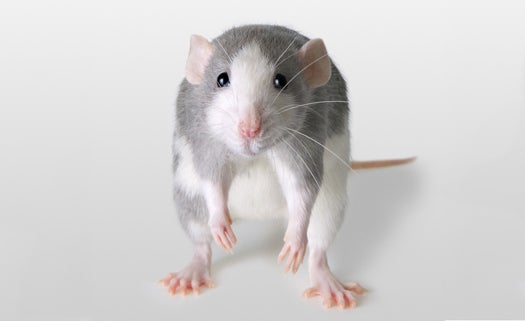 Does Summer Always Get You Down? You Might Be A Rat