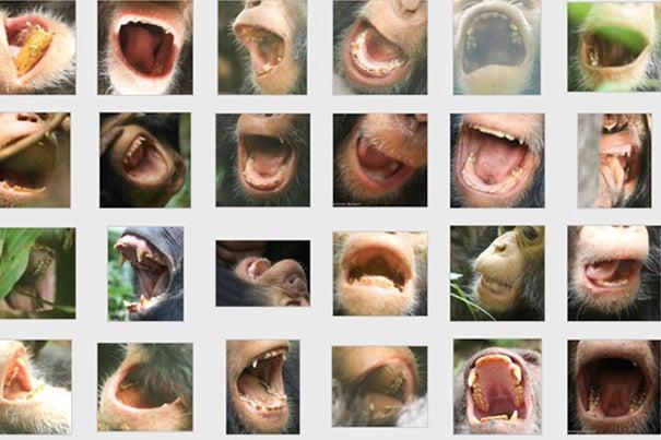 httpswww.popsci.comsitespopsci.comfilesimport2014chimp.teeth_.jpg