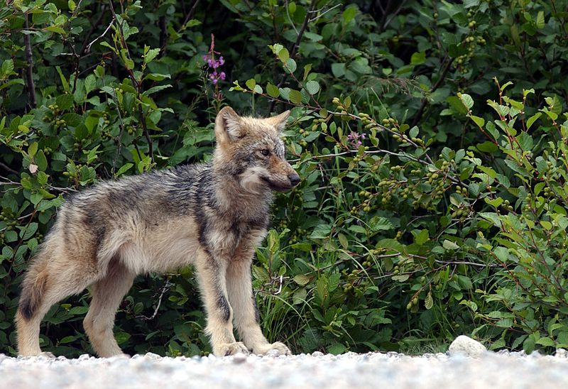 Stop Shooting Wolves, You Maniacs