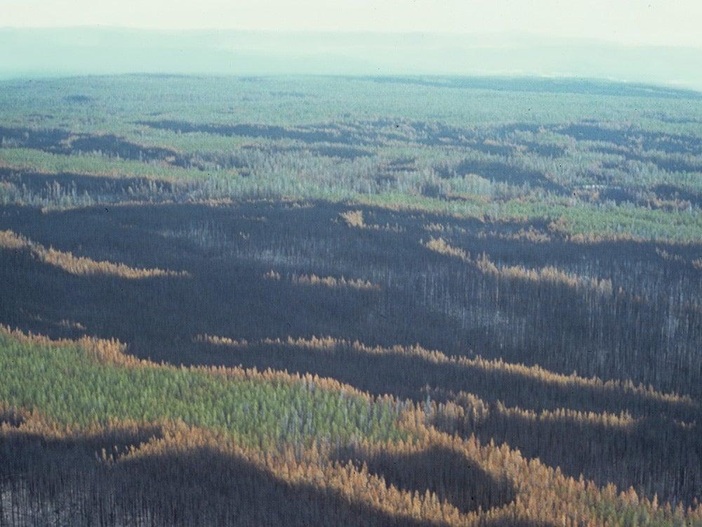 burned and unburned trees