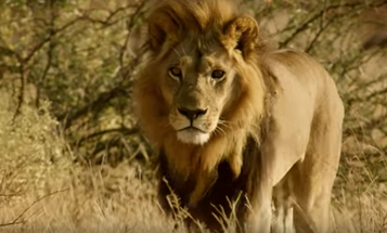 Androgynous Lionesses Strut And Roar In Manly Manes