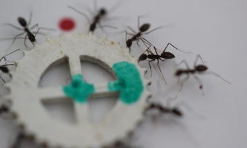Crazy Ants Cooperate To Carry Food