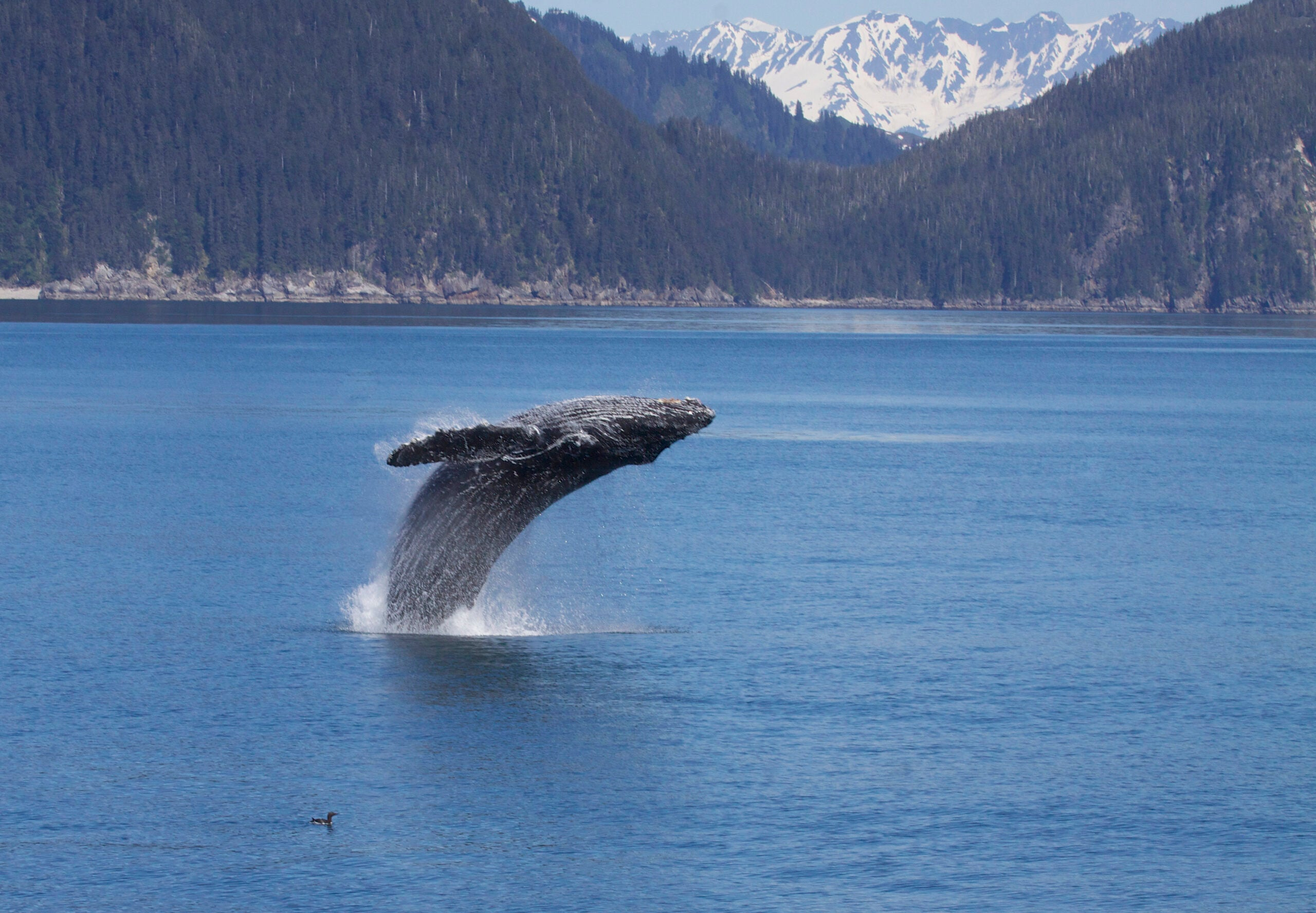 Nine Populations Of Humpback Whales Leap Off Endangered Species List