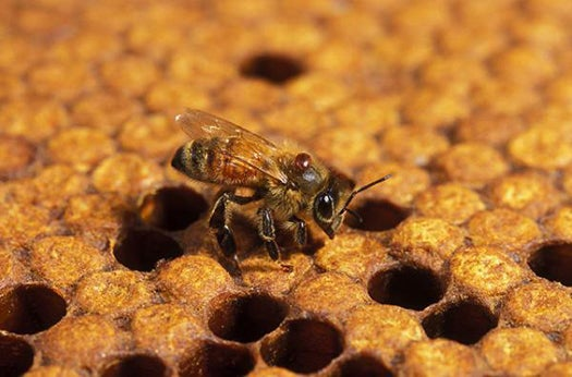 Breeding Super-Hygienic Bees to Take the Offensive in Colony Collapse Fight
