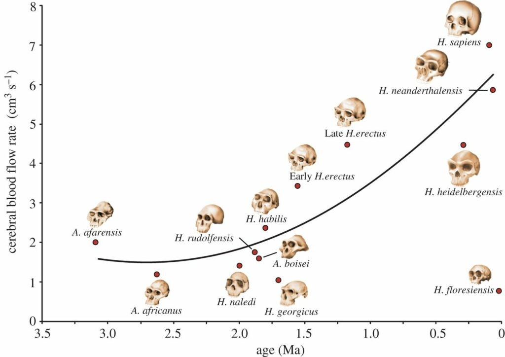 Cerebral blood flow rate (Q˙ICAQ˙ICA) in relation to estimated geological age (A) in 12 hominin species