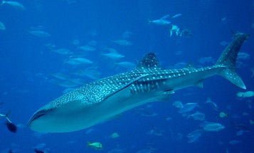 Your Vacation Photos Could Help Researchers Track Whale Sharks