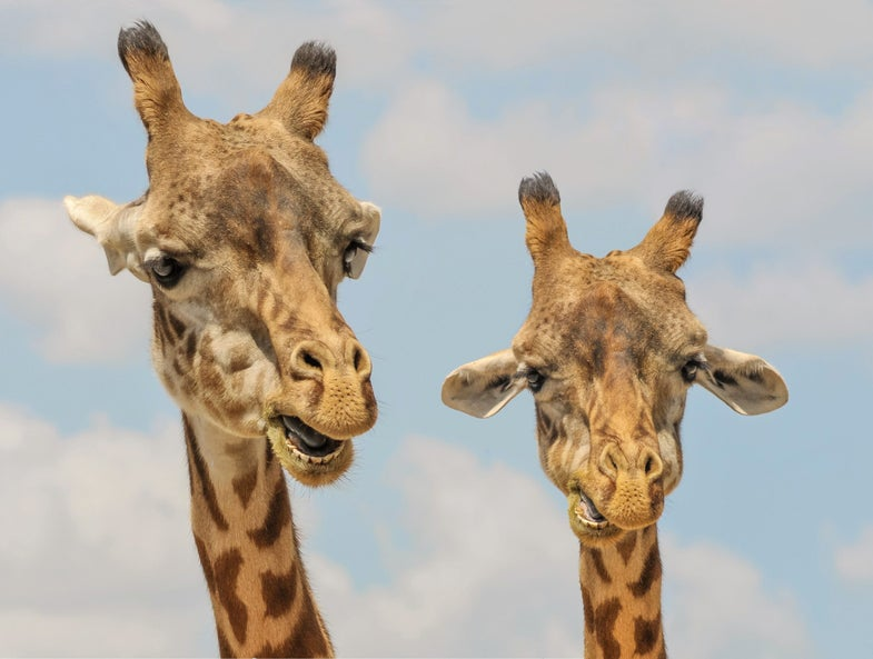 Fun facts about giraffe sex to keep you occupied while you wait for that giraffe baby