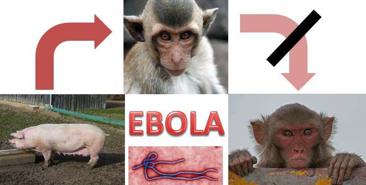 Of Pigs and Primates: Addressing the Airborne Ebola Allegation