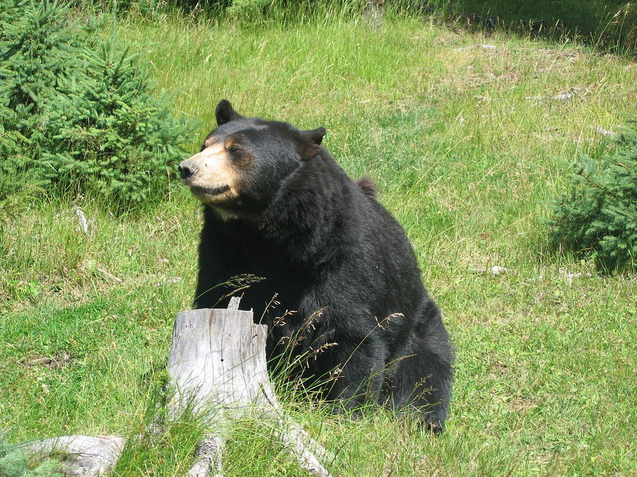 Bears Hate Drones