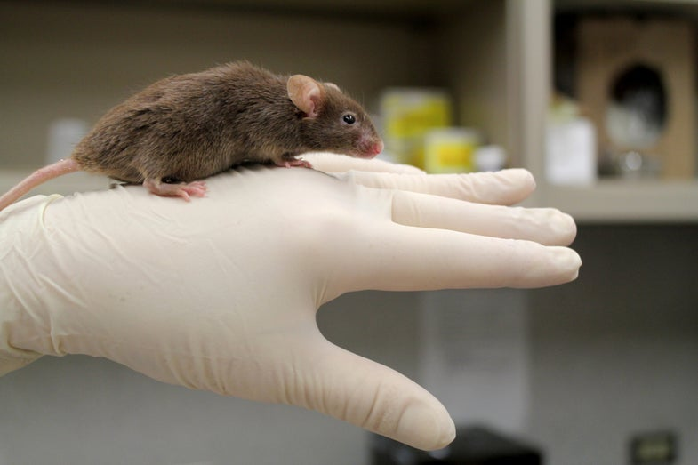 Male Mice Without Y Chromosome Can Still Make Babies