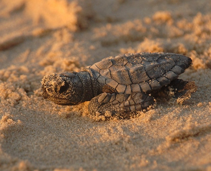 A newborn sea turtle makes her way to the ocean.