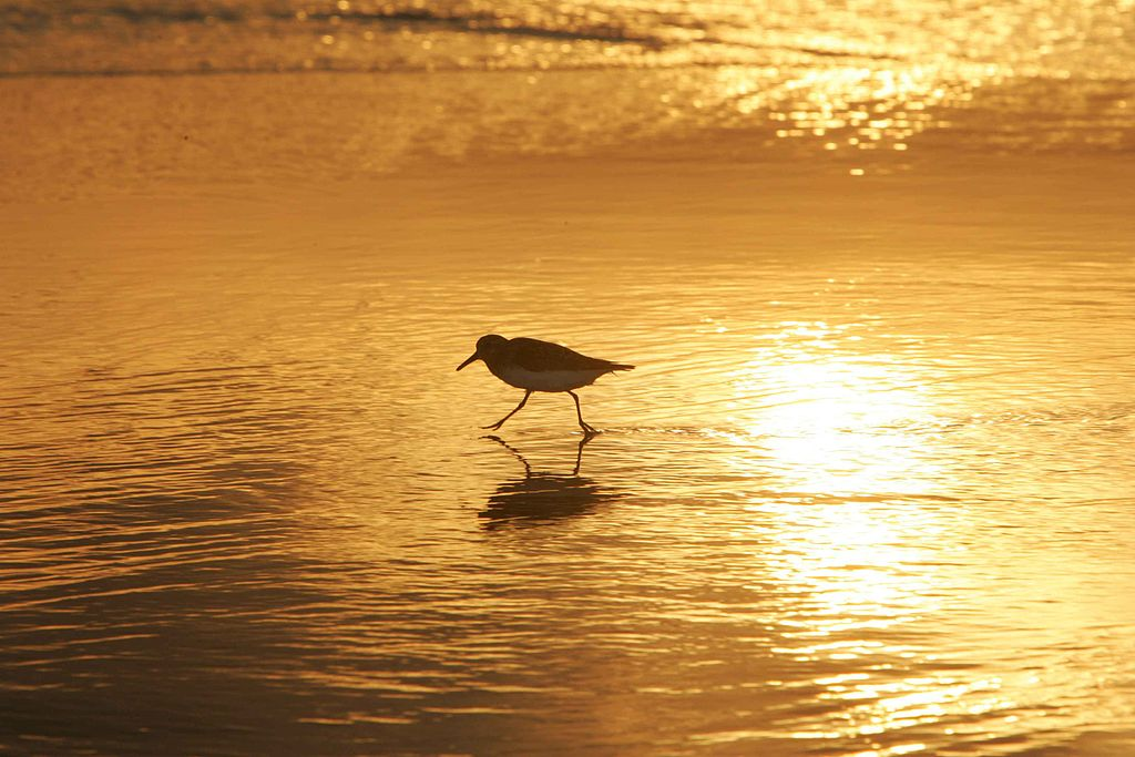 httpswww.popsci.comsitespopsci.comfiles1024px-shorebird_in_sunrise_walking_on_coast.jpg