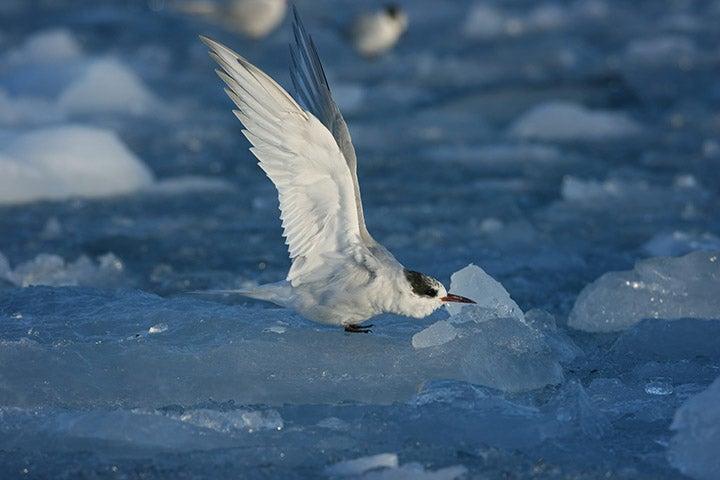 An Antarctic tern taking flight.
