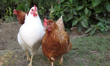 How To Keep Your Backyard Chickens Bug-Free