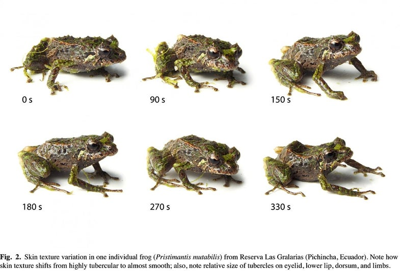 New Frog Species Can Change The Shape Of Its Skin