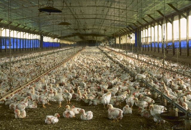 Organic Feed Shown to Affect Genes in Chickens